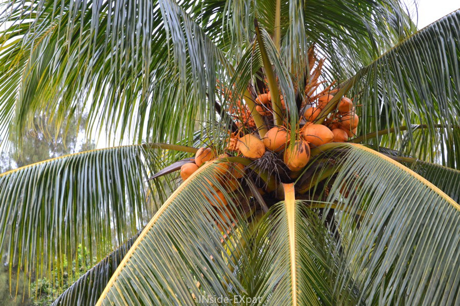 Palmier à Rambah Beach (Malaisie)
