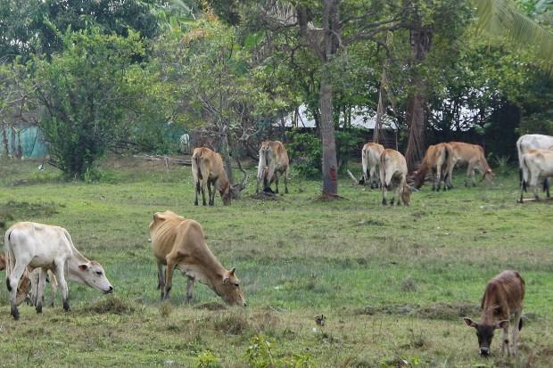 Vaches Cambodge