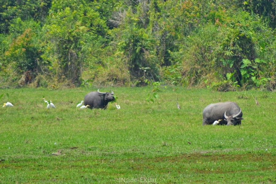 Buffles et grues blanches dans la campagne cambodgienne (Siem Reap)