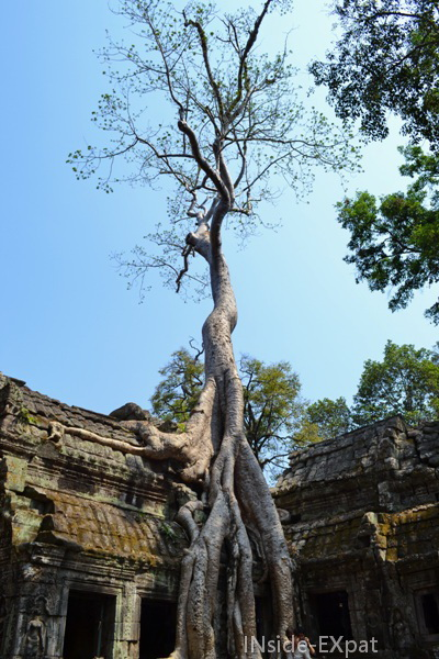 Fromager au temple Ta Prohm