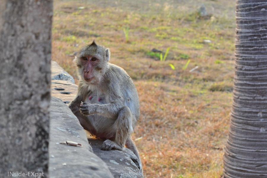 singe à Angkor Vat