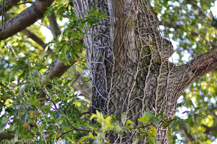 Tronc d'arbre recouvert de lierre