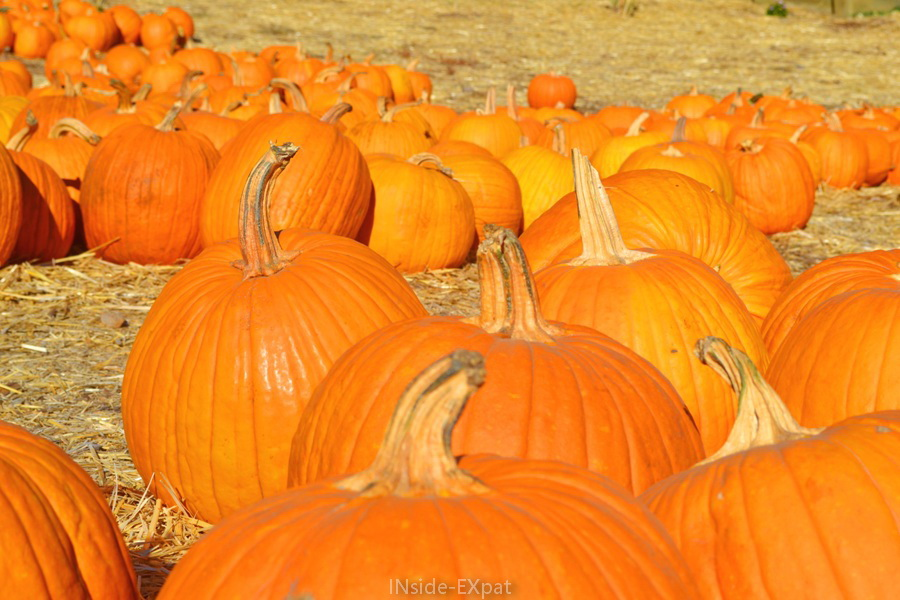 citrouilles éparpillées à Clayton Valley Pumpkin Farm
