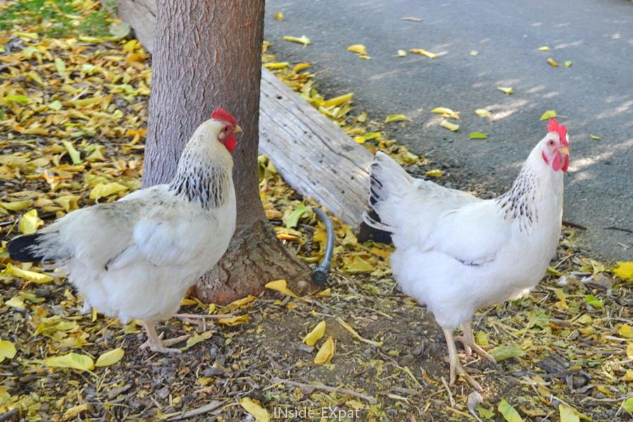 poules en liberté à Clayton Valley Pumpkin Farm