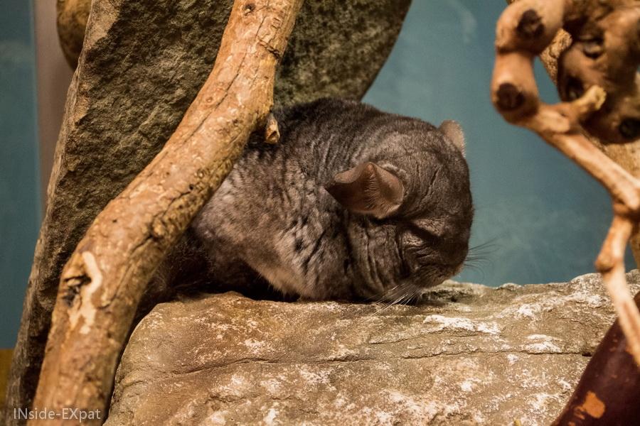 Chinchilla de l'Aquarium