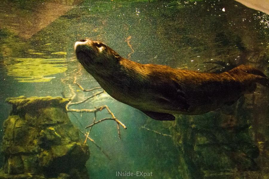 Loutre de l'Aquarium