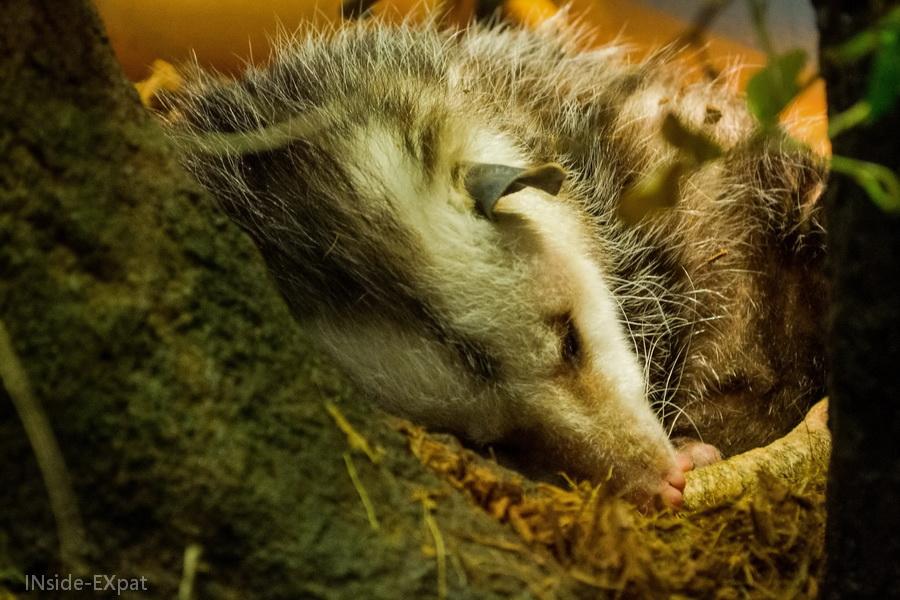 Opossum de l'Aquarium