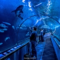 Dans le tunnel de l'Aquarium of the Bay, SF