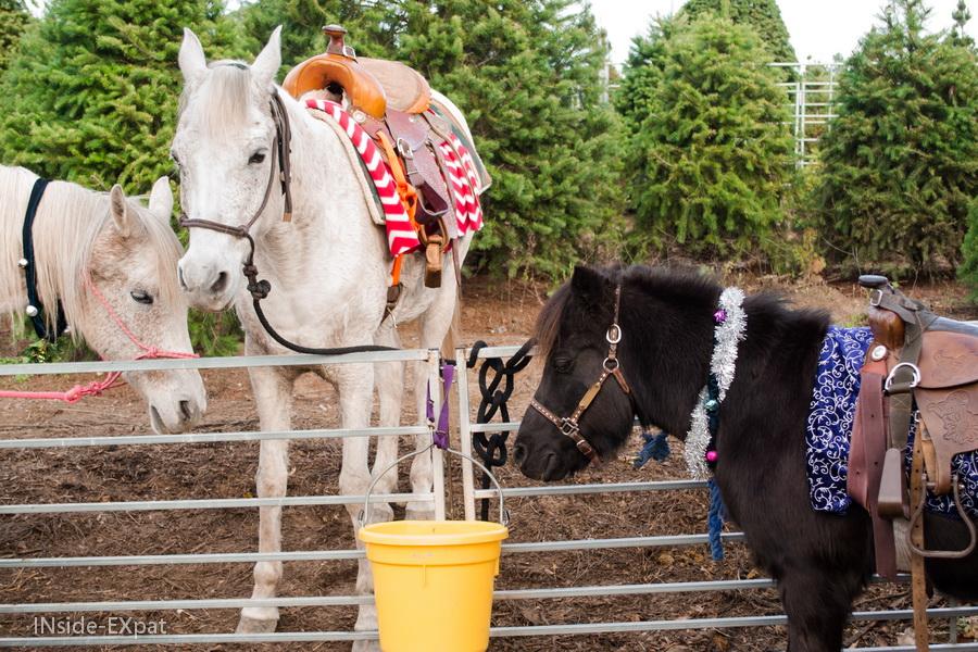 Les poneys de la ferme