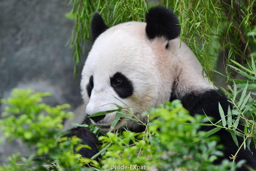 Pandas du River Safari à Singapour