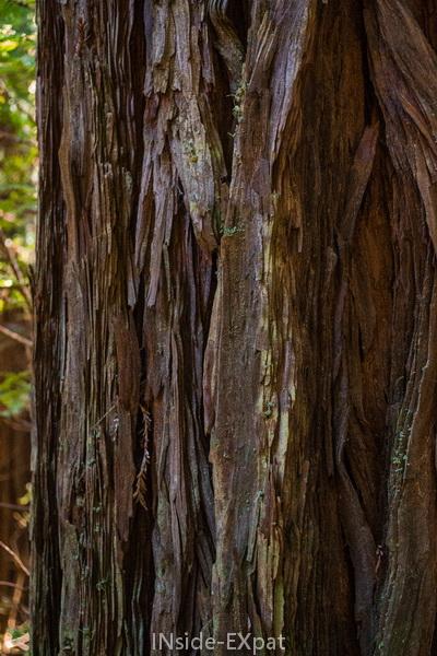 Tronc de redwoods