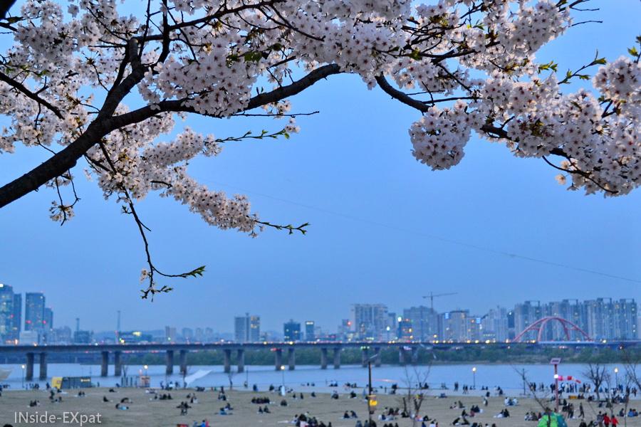 cherry blossom à seoul