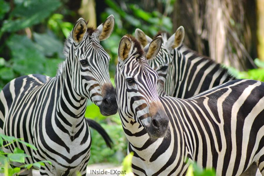 Les zebres du zoo de Singapour