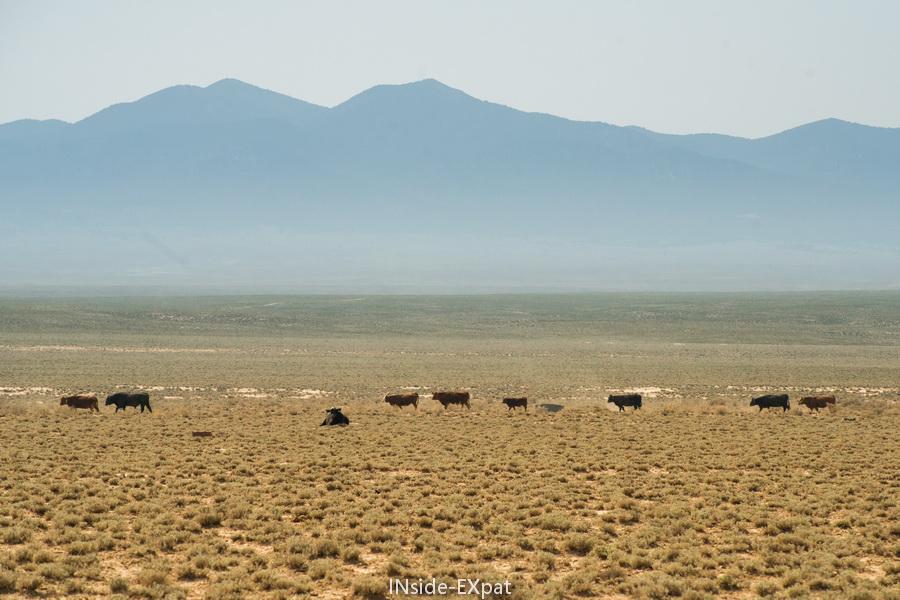 Des vaches... seules au monde