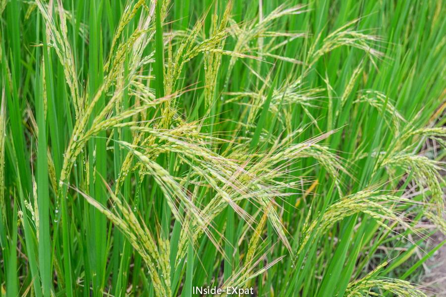 Le riz prêt à être ramassé