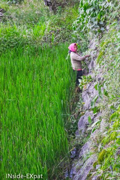 Femme travaillant dans les rizieres de Batad