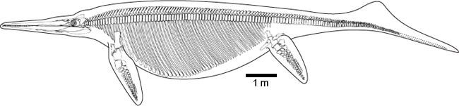 Schéma d'un ichtyosaure