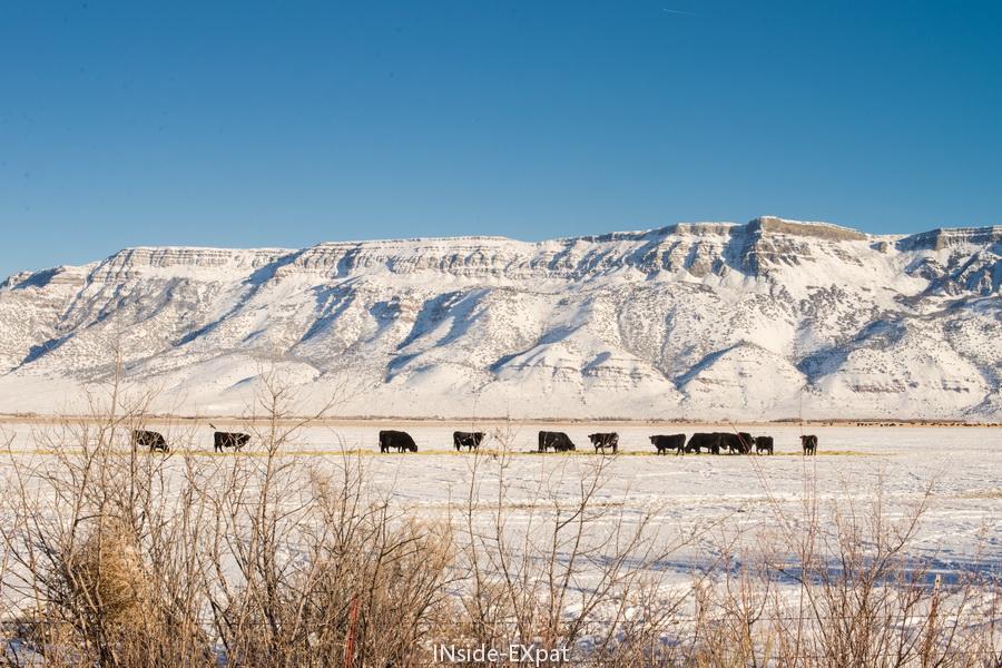 vaches noires sur fond de neige