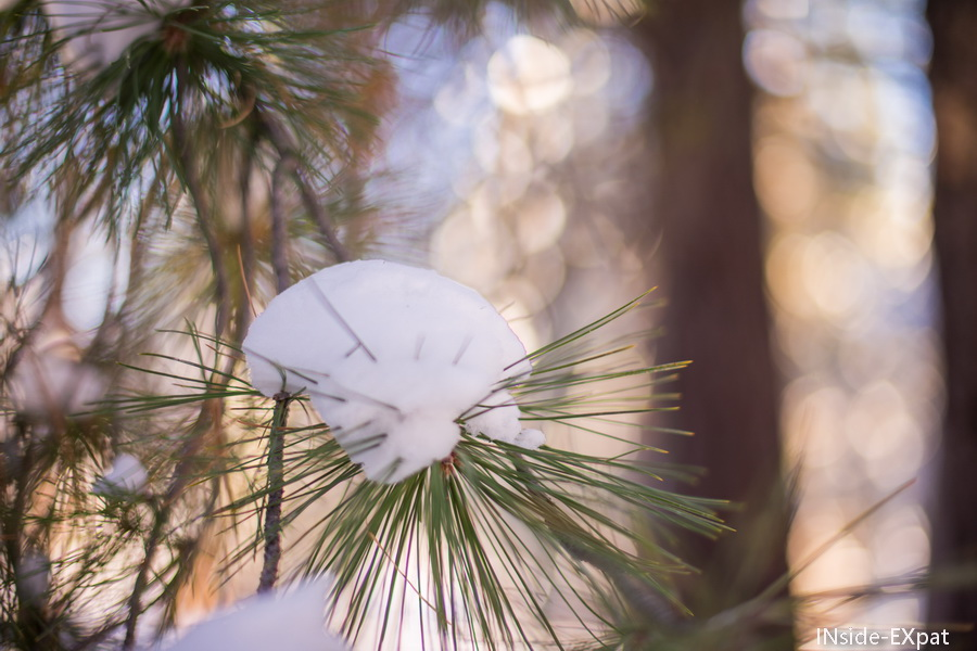 sous la neige, les epines de pin