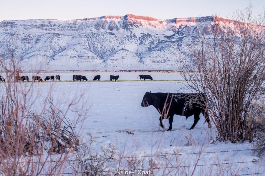 vaches dans la warner valley sous la neige