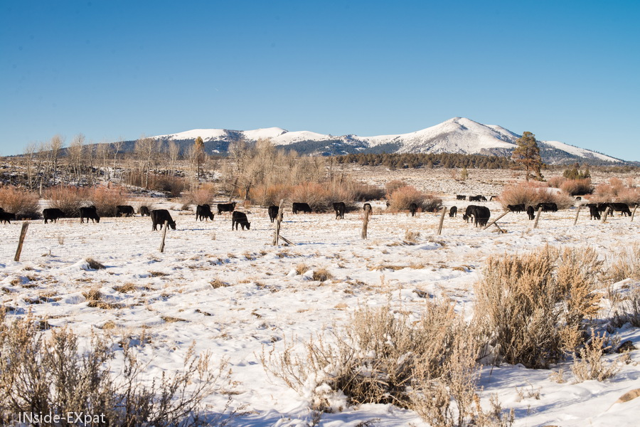 vaches et montagnes enneigees