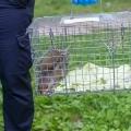 écureuil à la patte cassée
