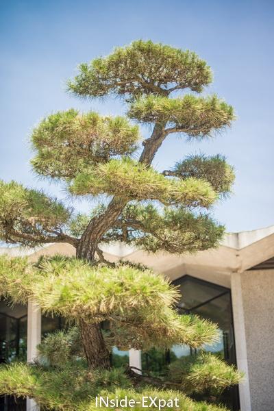 arbre taillé us national arboretum