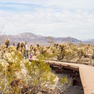 Balade au milieu des cactus (Joshua Tree National Park, CA)